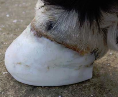 Prosthetic hoof replacement.