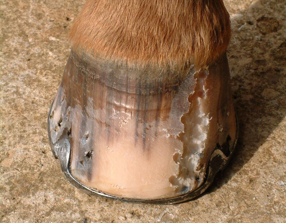 Hoof Crack Repair