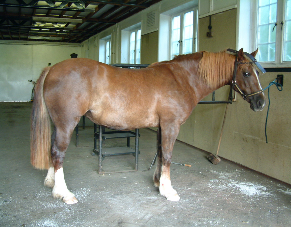 Horse with Laminitis After